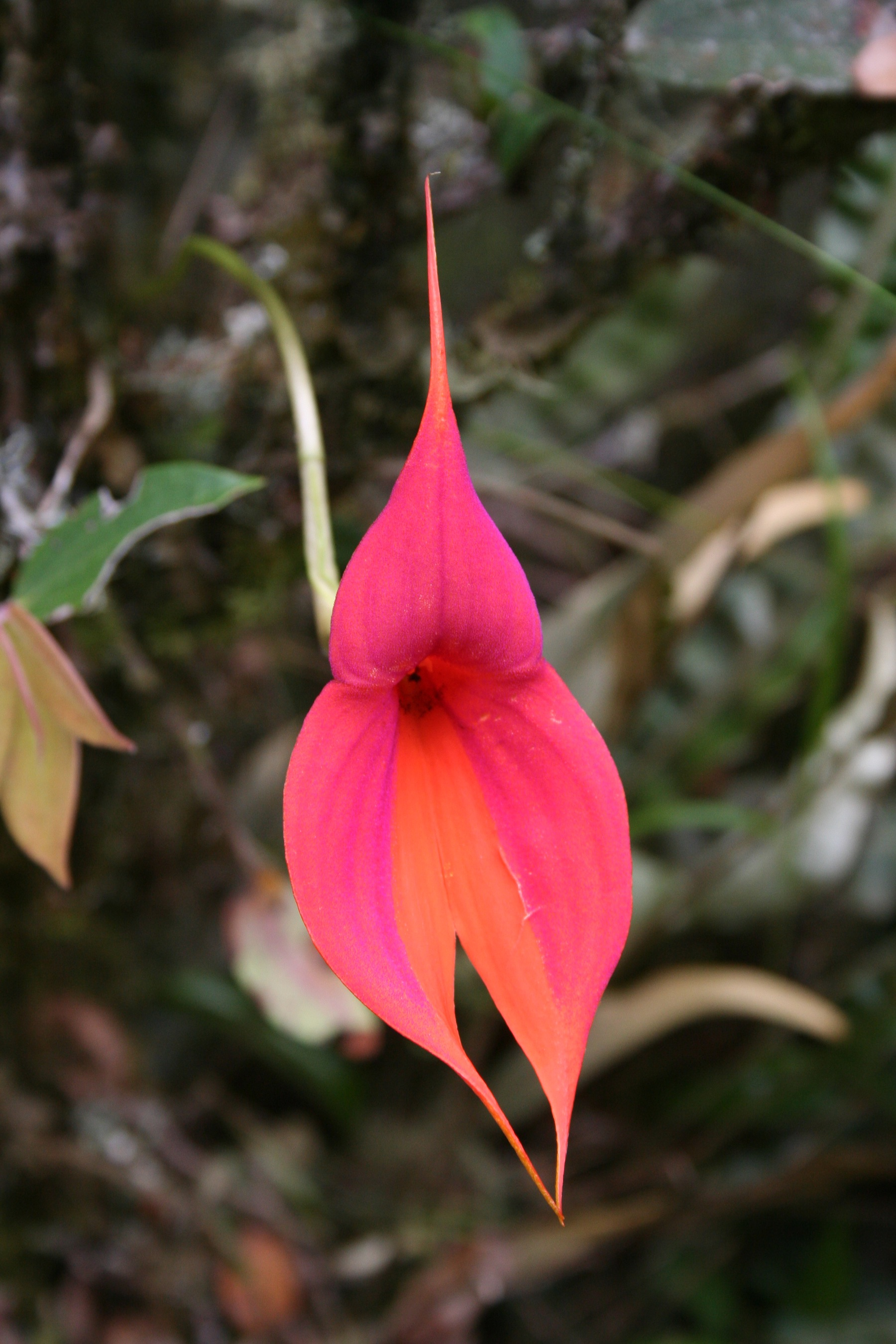 Divorce Orchid (aka Fire Orchid or Masdevallia veitchiana) in Peru
