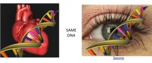 DNA is same in heart and eye cells