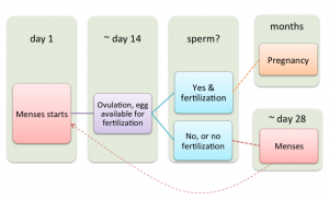 Graphic updated to remove the implantation step. Implantation happens between day 20 and 22. Pregnancy is often detected after the first missed period.