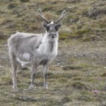Surprise! Photo taken. Thought it was just a regular Svalbard reindeer