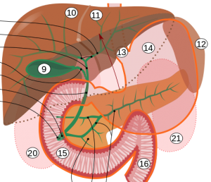 Biliary_system_multilingual
