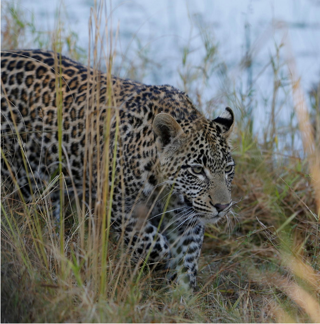 What does a leopard sound like?