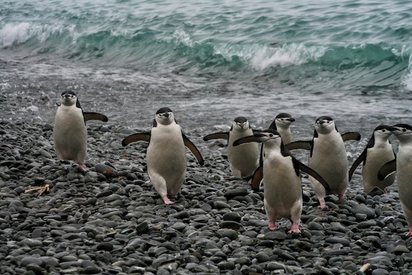 Chinstrap Penguins and Families