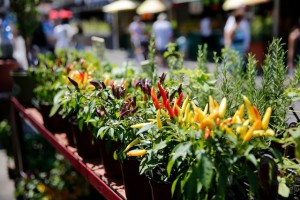 Chili plants at the market